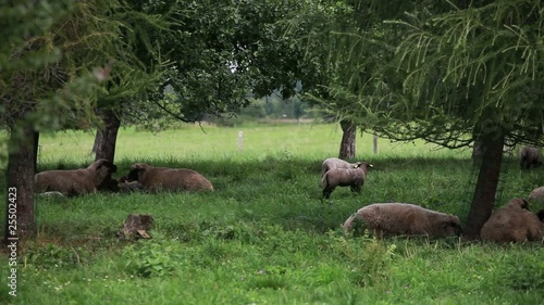 Flock of sheep grazing and resting under the shade of trees