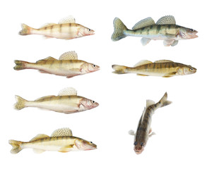 Different zander or pikeperch collection isolated
