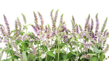 Border from a blossoming  peppermint