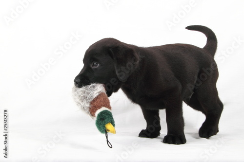 Fotobehang Dragen studio portrait of baby labrador with duck stuffed animals
