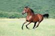 beautiful brown arabian horse running gallop on pasture