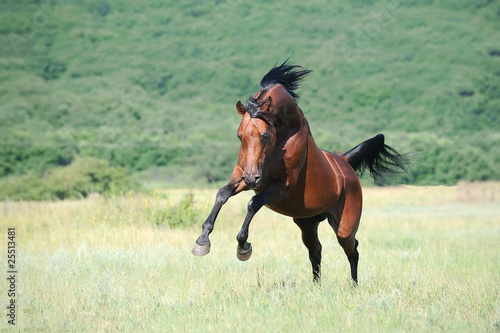 beautiful brown arabian horse playing on pasture