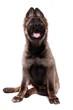 canvas print picture - Deutscher Schäferhund Welpe