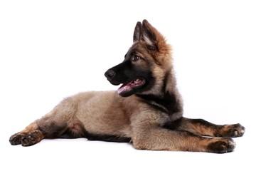 Deutscher Schäferhund Welpe