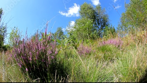 Calluna Vulgaris (heather) bush flapping in wind