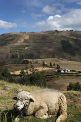 Mouton dans les montagnes Equatoriennes