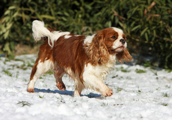 cavalier king charles spaniel walking on the snow