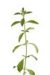 Sweet Stevia rebaudiana