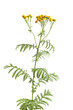 Flowering Common Tansy