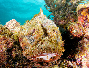 Close up of a Spotted Scorpionfish