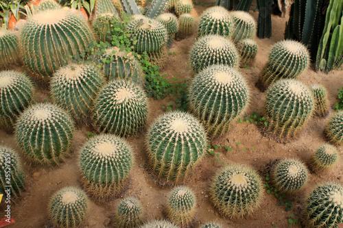 Canvas Cactus echinocactus