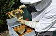 Apiculteur contrôlant  ses abeilles construisant de la cire