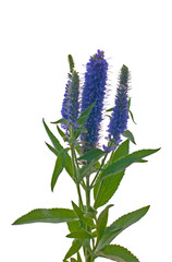 Veronica flowering spikes