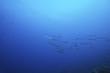 barracuda in branco