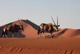 Oryx Antilope - 25545802