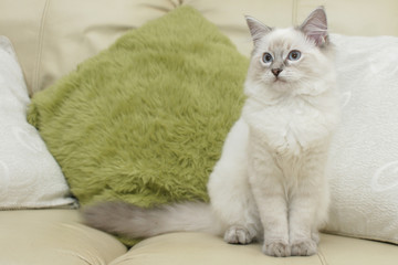 ragdoll kitten on sofa