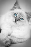 gorgeous ragdoll with blue eyes