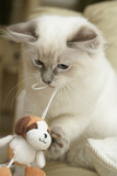 kitten playing with toy dog