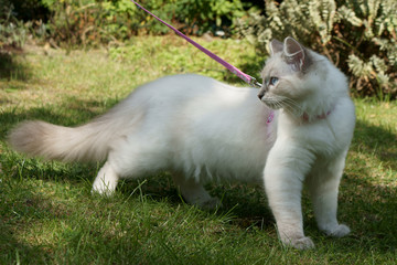 ragdoll kitten on a lead