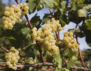 Grappoli Maturi Chardonnay