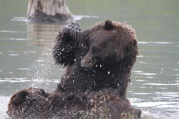 kämpfende Grizzlybären - Alaska