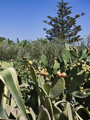 Italy, Sicily, Portopalo, prickly pears and olive trees