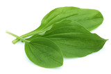 Plantain leaves poster