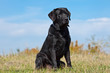 Black labrador retriever in green grass