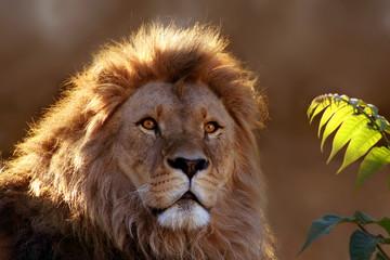 Leo im Gegenlicht