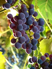 moscato grapes within wineyard