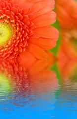 gerbera flower in water