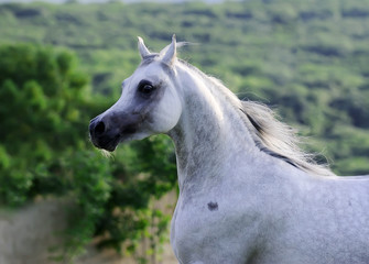 portrait of beautiful gray arabian horse in motion