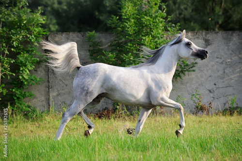 gray arabian horse running trot on pasture