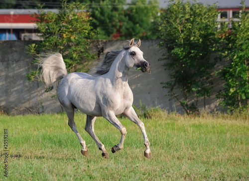 gray arabian horse running gallop on pasture