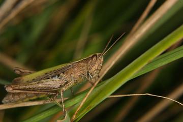 Feldgrashuepfer (Chorthippus apricarius)