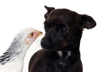Puppy dog and chicken