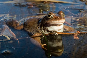 The Common Frog.