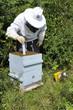 Pose d'une bande anti-varroa dans une ruche
