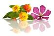 Lantana camara (Wandelröschen) und Clematisblüte