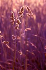 Spiegelndes Gras