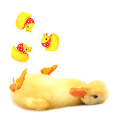 Duckling young baby is juggling three rubber ducks
