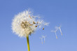 Dandelion offspring detached by the wind