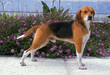 beagle harrier en position standard
