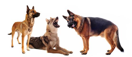chiens de berger