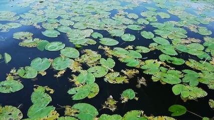 Water Lilies - Near - Waving