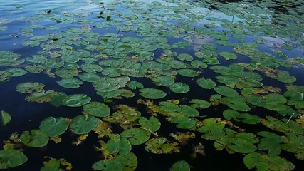 water lilies - with blue sky mirrored in the water - waving