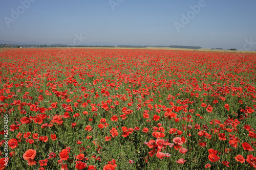 poppy flower field