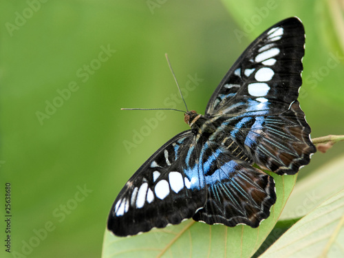 Schmetterling  Parthenos sylvia