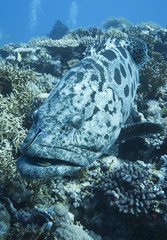 Giant potato cod, great barrier reef, Queensland, Australia