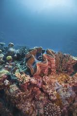 giant clam, australia